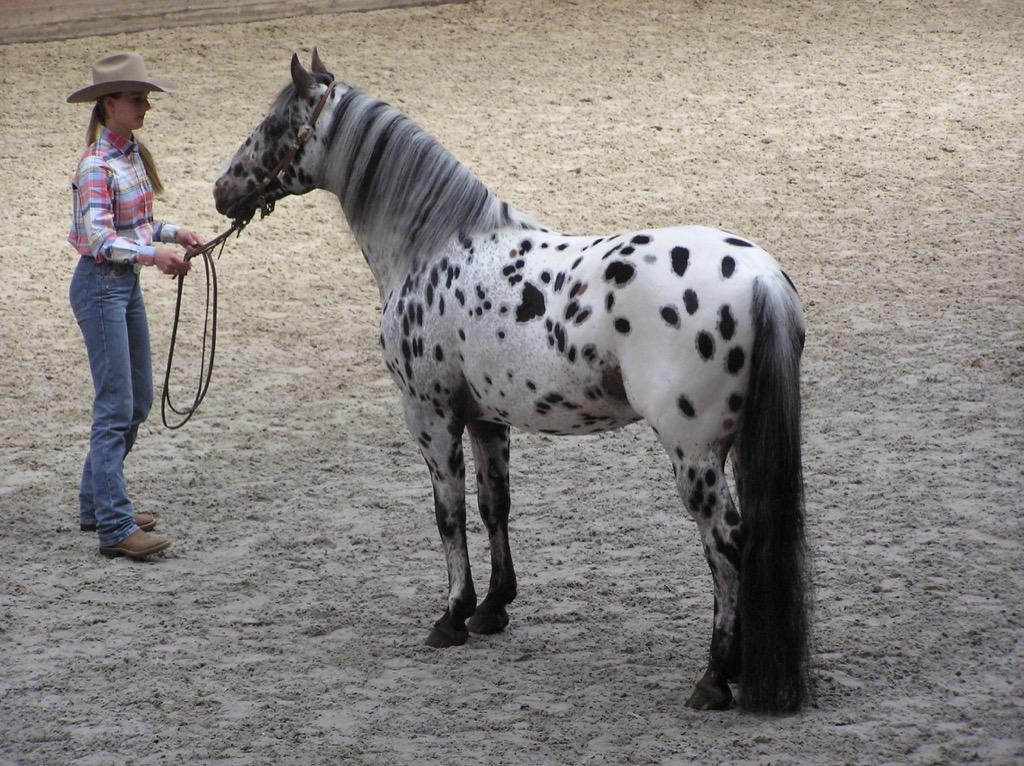 Appaloosa Horse Wallpapers For Android Apk Download