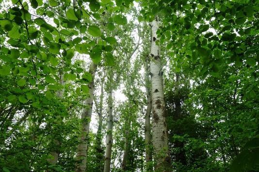 Birch Trees Wallpapers HD FREE apk screenshot