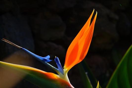 Birds of Paradise Wallpapers apk screenshot