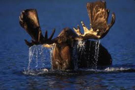 Bull Moose Wallpapers HD FREE screenshot 2