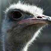 Ostrich Wallpapers HD FREE icon