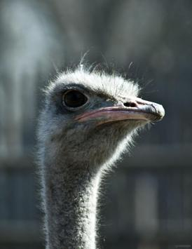 Ostrich Wallpapers HD FREE poster