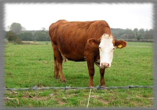 Cow Pastures Wallpaper apk screenshot