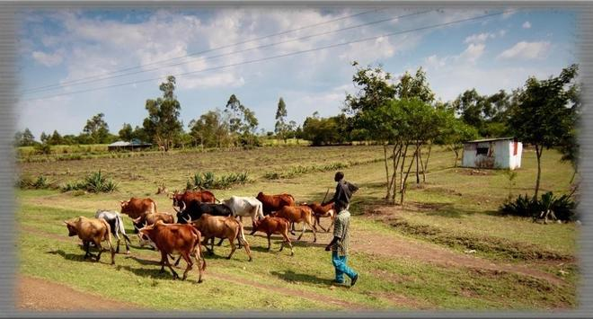 Cattle Drives Wallpaper screenshot 1