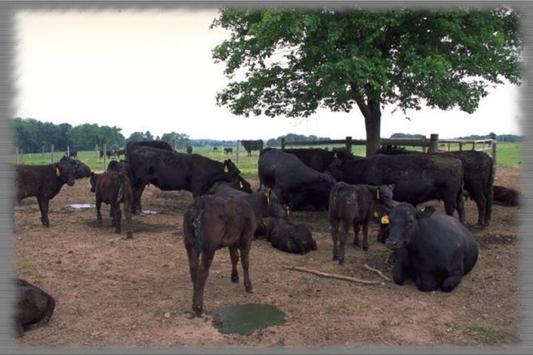 Angus Cattle Wallpaper screenshot 1