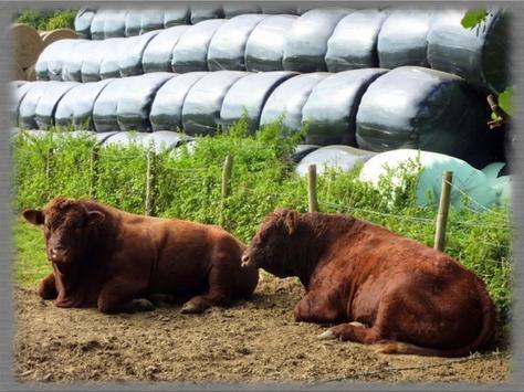 Angus Cattle Wallpaper screenshot 2