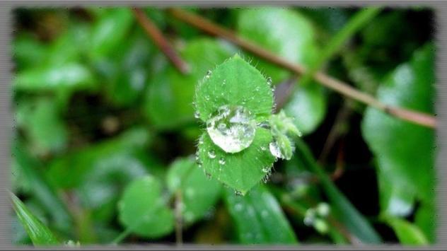 Dew Drops Wallpaper poster