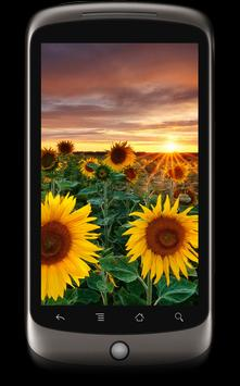 Sunflowers Live Wallpaper poster