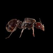 AntsHormiga icon