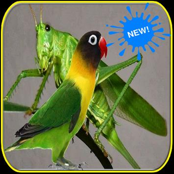 Masteran Walang Kecek dan Lovebird screenshot 2