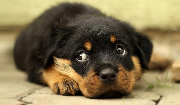 Puppies Live Wallpaper apk screenshot