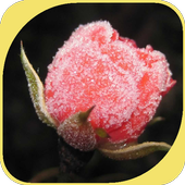 Crystal Rose icon