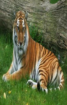 Tiger live wallpaper HD apk screenshot