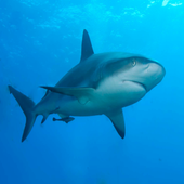 Get the Shark 123 (Angus) icon