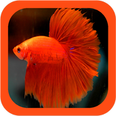 Siamese Fighting Fish Guide icon