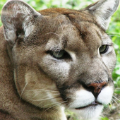Cougar Roar icon