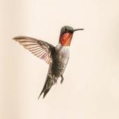 Hummingbird Sound icon