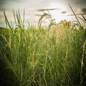 Rice Field Sound icon