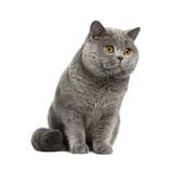 Все породы кошек icon