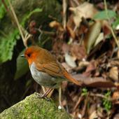 鳥鳴き声コマドリ icon