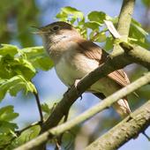 鳥鳴き声サヨナキドリ icon