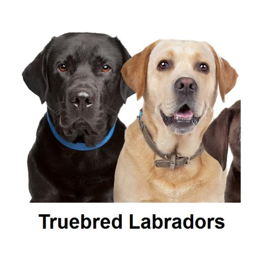 Labrador puppies for sale NSW for Android - APK Download