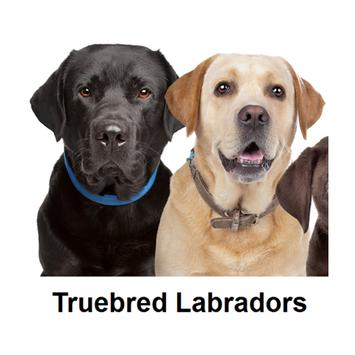 Labrador puppies for sale NSW poster
