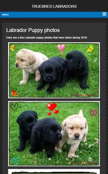 Labrador puppies for sale NSW apk screenshot