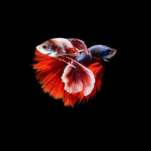 Betta Fish Wallpaper Hd For Android Apk Download Betta fish wallpaper gif betta fish 3d