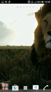 Beautiful lions wallpapers apk screenshot