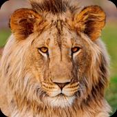 Lion Live Wallpaper HD icon