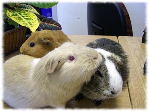 Guinea Pigs Wallpaper Pics screenshot 2