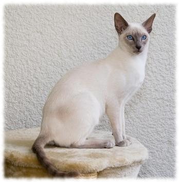 Siamese Cats Wallpaper Pics apk screenshot