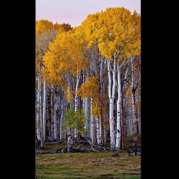 Birch Tree Wallpaper HD poster