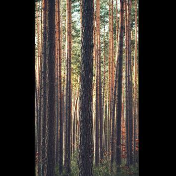 Birch Tree Wallpaper HD screenshot 2