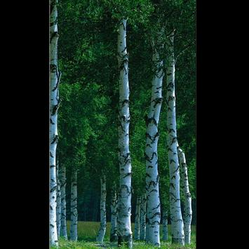 Birch Tree Wallpaper HD screenshot 4