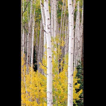 Birch Tree Wallpaper HD screenshot 7