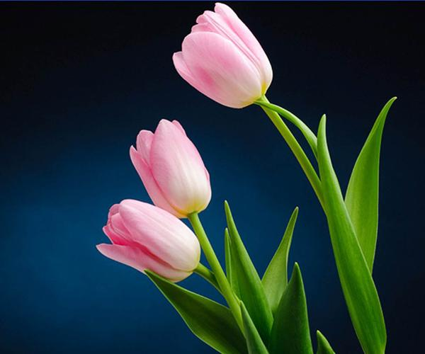 Tulip Flower Live Wallpaper For Android
