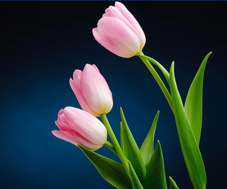 Tulip Wallpaper: Tulip Flower Live Wallpaper For Android