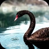 Black Swan Video Wallpaper icon