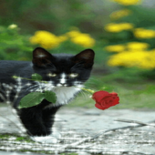 Cat With Rose Live Wallpaper icon