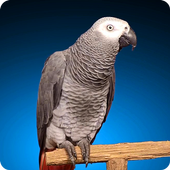 Grey Parrot Live Wallpaper icon
