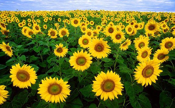 Sunflower Live Wallpaper poster