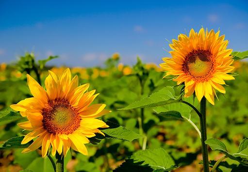 Sunflower Live Wallpaper screenshot 1