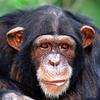 Chimp Memory Test Lite ikon