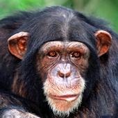 Chimp Memory Test Lite icon