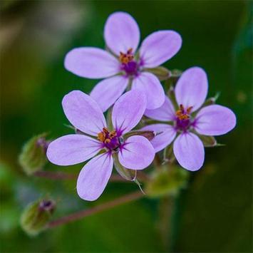 flower lovely apk screenshot