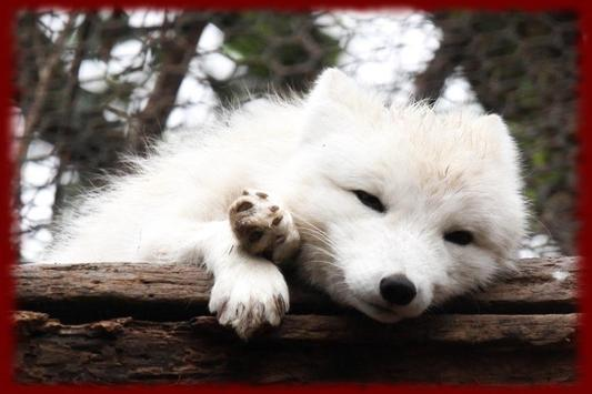 Arctic Fox wallpapers poster
