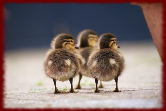 Baby Ducklings wallpapers apk screenshot