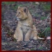 Baby Lion Cubs wallpapers icon